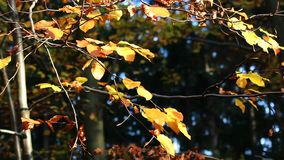Złocisty kolorowy jesień urlop na gałąź zbiory