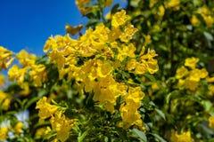Z?ocisty kwiatu paska u raja fotografia royalty free
