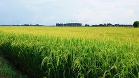 złocisty ryżu pole z dwa brzmieniem Zdjęcia Stock