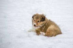 Złocisty szczeniak w śniegu Zdjęcie Stock