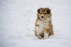 Złocisty szczeniak w śniegu Obraz Royalty Free