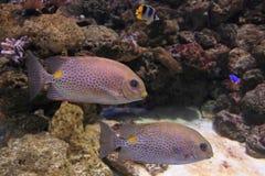 Złota Łaciasty Rabbitfish Obrazy Royalty Free