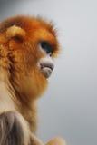 złota afront małpa 2016 Obraz Royalty Free