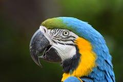 złota ara blue Obraz Royalty Free