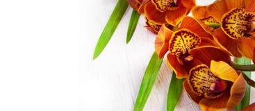 Złota brown orchidea na białym rocznika tle Cymbidium Obrazy Royalty Free