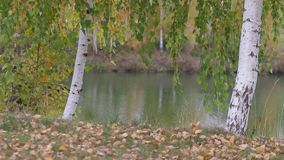 Złota brzoza opuszcza spadać na lodzie na chłodno jesień dniu zbiory wideo