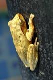 Złota Drzewna żaba lub kolor żółty żaba w Tajlandia Makro- - zakończenie up - fotografia stock