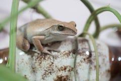 Złota Drzewna żaba lub kolor żółty żaba w Tajlandia Makro- - zakończenie up - zdjęcia stock