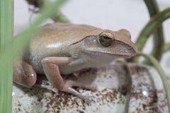 Złota Drzewna żaba lub kolor żółty żaba w Tajlandia Makro- - zakończenie up - fotografia royalty free