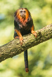 Złota głowiasta długouszki małpa Obrazy Royalty Free