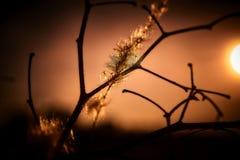 Złota godzina Cogon trawy roślina obrazy stock
