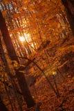 Złota godzina w drewnach podczas gdy słońce błyszczy przez drzew na jesień dniu fotografia royalty free