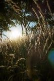 Złota godziny i siana trawa zdjęcie stock
