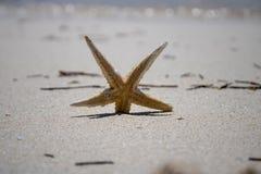 Złota i Biała rozgwiazda na złotej piaskowatej plaży obrazy stock
