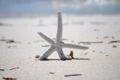 Złota i Biała rozgwiazda na złotej piaskowatej plaży zdjęcie royalty free