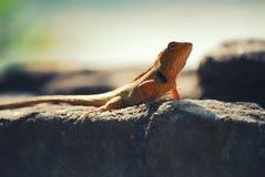 Złota jaszczurka na słońca skąpaniu Obrazy Stock