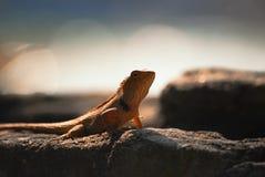 Złota jaszczurka na słońca skąpaniu Fotografia Royalty Free