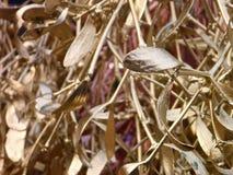 Złota jemioła jako symbol Chiristmas Fotografia Stock