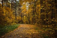 Złota jesień, żółci drzewa w świetle słonecznym, opuszcza pod nogami zdjęcia royalty free