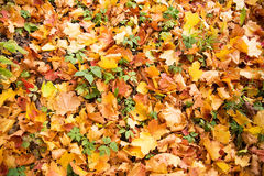 Złota jesień, czerwoni liście Spadek, sezonowa natura, piękny ulistnienie Obraz Royalty Free