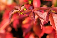 Złota jesień, czerwoni liście Spadek, sezonowa natura, piękny ulistnienie Fotografia Stock
