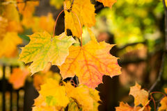 Złota jesień, czerwoni liście Spadek, sezonowa natura, piękny ulistnienie Fotografia Royalty Free
