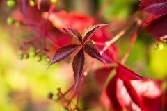 Złota jesień, czerwoni liście Spadek, sezonowa natura, piękny ulistnienie Zdjęcia Royalty Free
