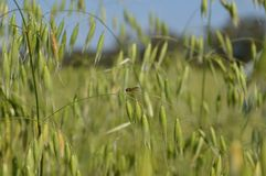 Złota komarnica na panicle zdjęcia royalty free