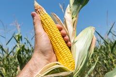 Złota kukurydza wewnątrz oddawał pole Zdjęcia Stock