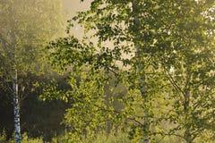Złota mgła nad birchs zdjęcia stock