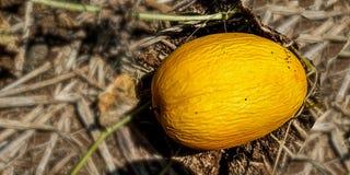Złota ogórkowa owoc w złocie fotografia royalty free