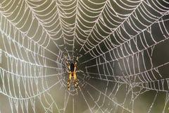 złota okręgu pająka sieć Obrazy Stock