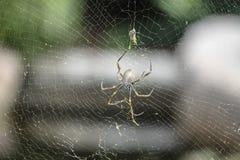 złota okręgu pająka sieć Obraz Stock