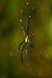 złota okręgu pająka tkacza sieć Obraz Stock