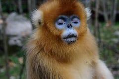 Złota Ostrożnie wprowadzać małpa z oczami Zamykającymi zdjęcia stock