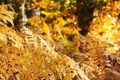 Złota paproć opuszcza w kolorowej jesień lasu scenie zdjęcie stock