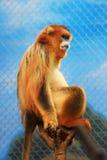 Złota Perkata ostrożnie wprowadzać małpa przy 2016 Zdjęcia Royalty Free