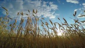 złota pola pszenicy