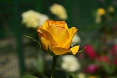 Złota róża - osamotniony piękno obraz royalty free