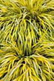 Złota różnobarwna Hakone trawa Obraz Royalty Free