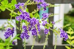 Złota rosy kropla, Gołębia jagoda, niebo kwiat & x28; Duranta erecta & x29; , Th Zdjęcie Royalty Free