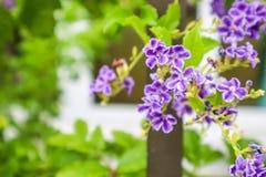 Złota rosy kropla, Gołębia jagoda, niebo kwiat & x28; Duranta erecta & x29; , Th Obraz Stock