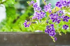 Złota rosy kropla, Gołębia jagoda, niebo kwiat & x28; Duranta erecta & x29; , Th zdjęcia stock