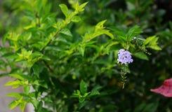 Złota rosy kropla, Gołębia jagoda, niebo kwiatu Duranta erecta Fotografia Stock