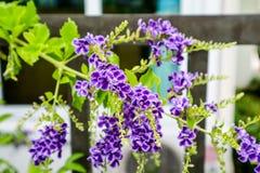 Złota rosy kropla, Gołębia jagoda, niebo kwiatu Duranta erecta, Th Zdjęcia Stock
