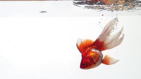Złota ryba, carassius auratus, Pływa przeciw białemu tłu zbiory wideo