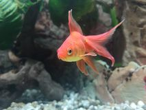 złota rybka zdjęcie royalty free