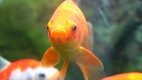 złota rybka zbiory wideo