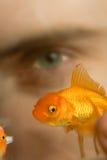 złota rybka pływania patrzy fotografia stock
