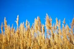 Złota sucha słoma zasadza nazwanych poaceae poales rusza się wiatrem na niebieskim niebie jako tło obraz royalty free